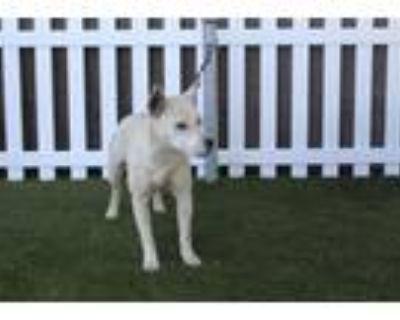 Adopt A552969 a Border Collie, Bull Terrier