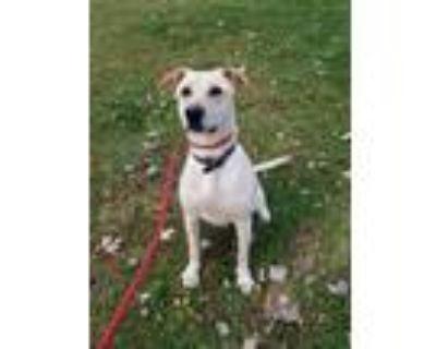 Adopt Sandy a White - with Tan, Yellow or Fawn Labrador Retriever / German