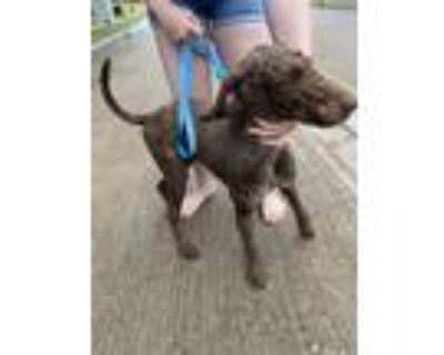 Adopt Chocolate Chip Cookie a Standard Poodle
