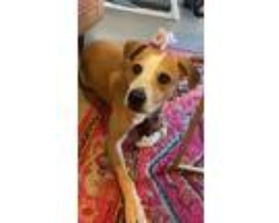 Adopt Daisy a Tan/Yellow/Fawn - with White Labrador Retriever / Beagle / Mixed