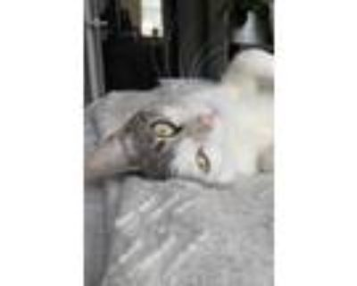 Adopt Kindred a White Domestic Shorthair / Domestic Shorthair / Mixed cat in