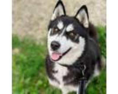 Adopt Roxy a Black Husky / Mixed dog in Northbrook, IL (31966021)