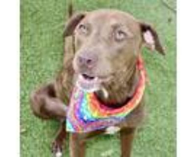 Adopt Sandy a Brown/Chocolate Retriever (Unknown Type) / Mixed dog in Largo