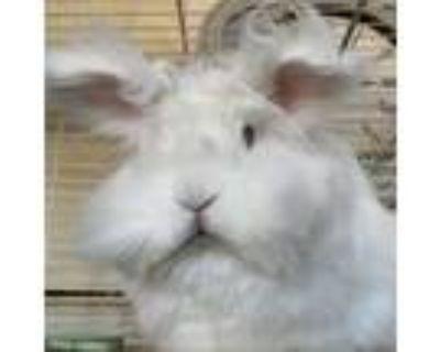 Adopt Adelina a White Lionhead / Mixed (medium coat) rabbit in Los Angeles