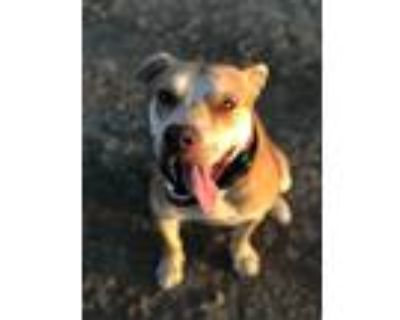 Adopt zippy a Tan/Yellow/Fawn - with White American Pit Bull Terrier / Labrador