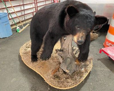 Black Bear Mount, White Tail Deer Mounts, Safe, Furniture, China and Glassware