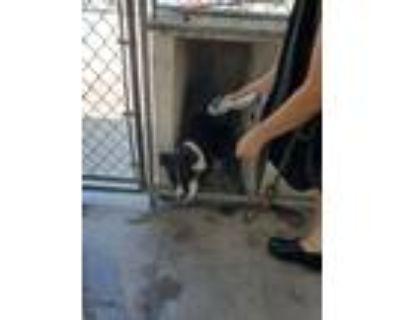 Adopt Jenni a Border Collie, Australian Cattle Dog / Blue Heeler