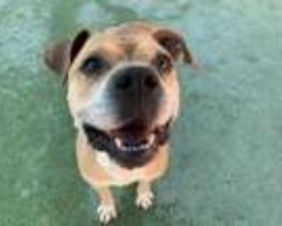 Adopt Charles a White Staffordshire Bull Terrier / Mixed dog in El Paso