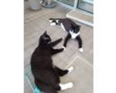 Adopt Hades and Potter a Black & White or Tuxedo Domestic Shorthair (short coat)