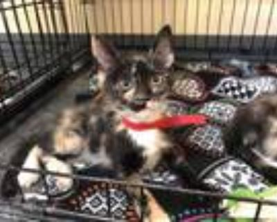 Adopt TWINKLE a Tortoiseshell Domestic Shorthair / Mixed (short coat) cat in