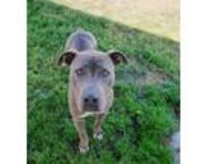 Adopt *ZAYLA a Gray/Silver/Salt & Pepper - with White American Pit Bull Terrier