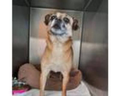 Adopt Spark Pug a Brown/Chocolate Pug / Mixed dog in Mission, KS (31569736)