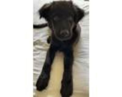 Adopt Kittanning a Black Labrador Retriever dog in Merrifield, VA (32062235)