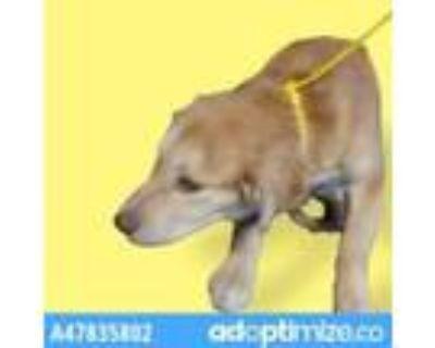 Adopt 47835802 a Tan/Yellow/Fawn Golden Retriever / Mixed dog in El Paso