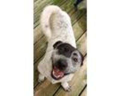 Adopt Goose a Basset Hound, Australian Cattle Dog / Blue Heeler