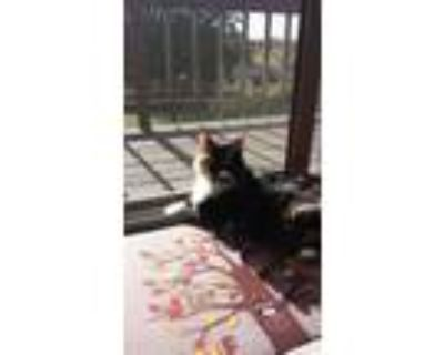Adopt Caramel a Calico or Dilute Calico Calico / Mixed (long coat) cat in