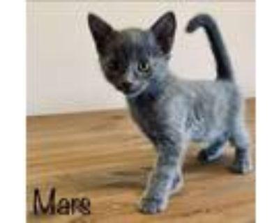 Adopt Mars a Russian Blue, Domestic Short Hair