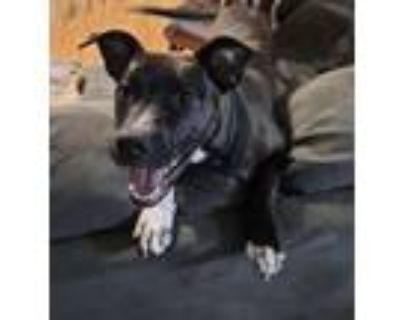 Adopt Charlotte a Pit Bull Terrier