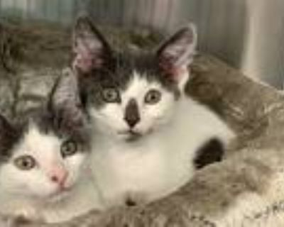 Adopt Lowe a Gray or Blue (Mostly) Domestic Shorthair (short coat) cat in