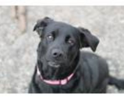 Adopt Arianna a Black Labrador Retriever / Mixed dog in Hibbing, MN (31133740)