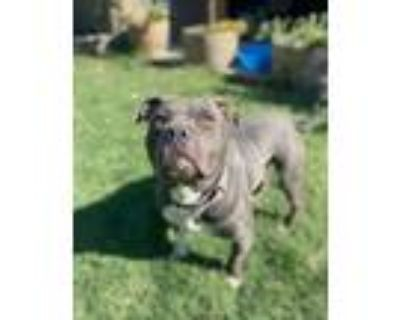 Adopt Gage a American Staffordshire Terrier