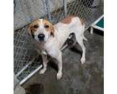 Adopt Jethro- URGENT! a Pointer, Coonhound