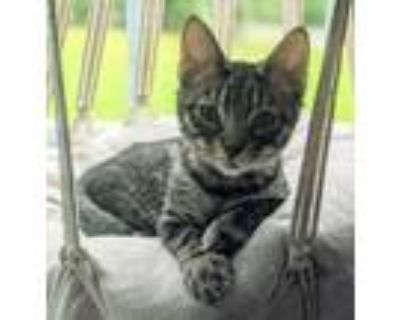 Adopt 5214 Matthew a Spotted Tabby/Leopard Spotted Domestic Shorthair cat in