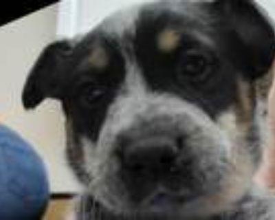 Adopt FINN a Australian Cattle Dog / Blue Heeler, Mixed Breed