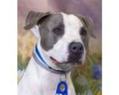 Adopt Ozzy (ID 29363/1476) a Pit Bull Terrier