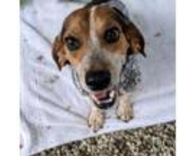 Adopt Ryker a Beagle