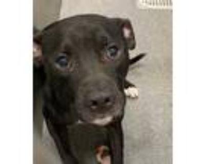 Adopt 1126163 a Black - with White Labrador Retriever / Mixed dog in Dallas