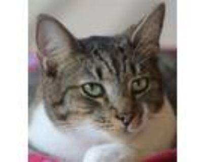 Adopt Jack Rabbit a Domestic Shorthair / Mixed (short coat) cat in North Fort