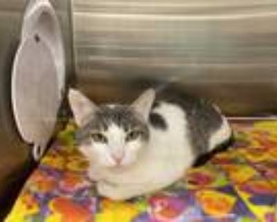 Adopt STEVIE a White (Mostly) Domestic Shorthair / Mixed (short coat) cat in
