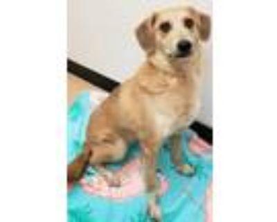 Adopt Thea a Tan/Yellow/Fawn Labrador Retriever / Mixed dog in Phoenix