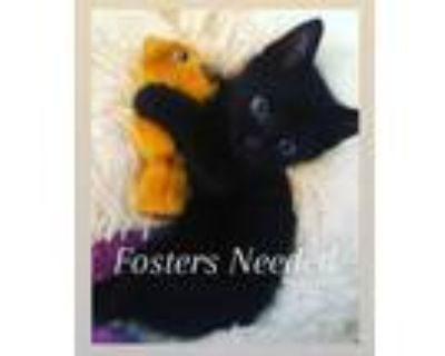 Adopt Fosters Needed! [Read Bio] a Domestic Short Hair, Siamese