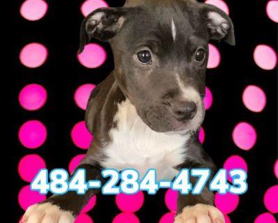 Marcy!❤️❤️❤️ Beautiful American Pitbull Terrier!!!