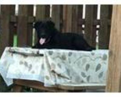 Adopt Willy a Labrador Retriever