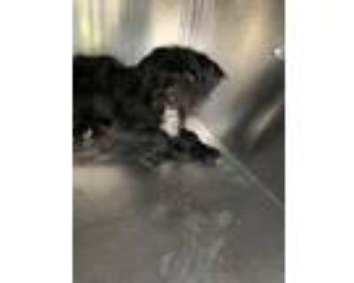Adopt 48268325 a Black Schnauzer (Standard) / Mixed dog in Fort Worth