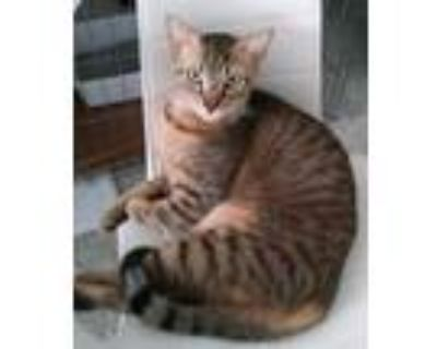Adopt Percy our sweet boy.. a Gray or Blue American Shorthair (short coat) cat