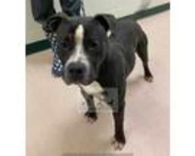 Adopt CHESS a Black - with White American Pit Bull Terrier / Mixed dog in