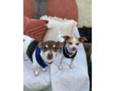 Adopt Jacky & Lucky a Rat Terrier, Jack Russell Terrier