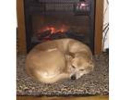 Adopt Mia a Tan/Yellow/Fawn - with White Labrador Retriever / Basenji / Mixed