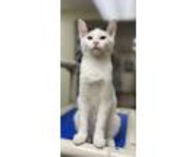 Adopt Odie a White Domestic Shorthair / Domestic Shorthair / Mixed cat in
