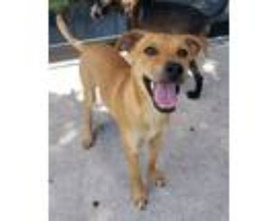 Adopt Irati a Labrador Retriever / Mixed dog in Fort Myers, FL (31976947)