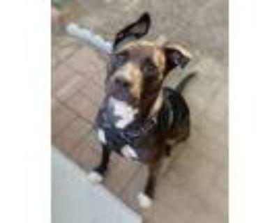 Adopt Honey a Staffordshire Bull Terrier / Mixed Breed (Medium) dog in Denver