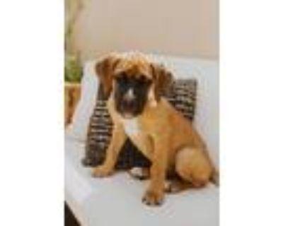Adopt Sam a Boxer / Cane Corso dog in Denver, CO (32070615)