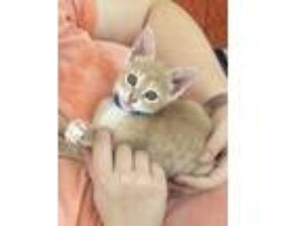Adopt Oliver a Manx, Ocicat