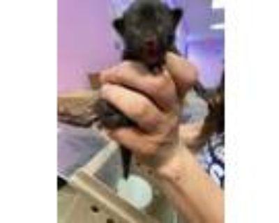 Adopt 47533185 a All Black Domestic Shorthair / Mixed cat in El Paso
