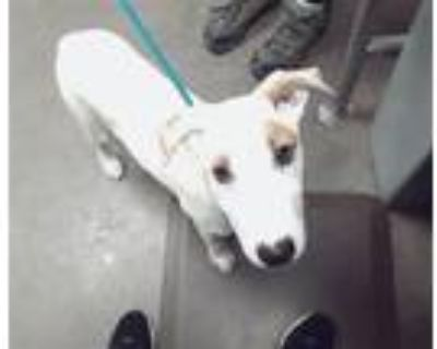 Adopt TABITHA a Bull Terrier, Mixed Breed