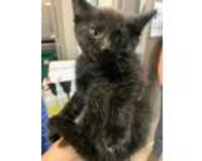 Adopt Little* a All Black Domestic Shorthair / Domestic Shorthair / Mixed cat in